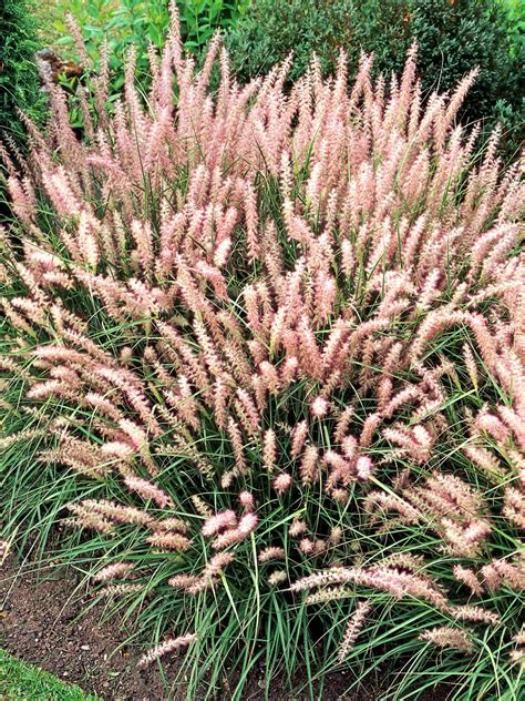 grass perennial types of ornamental grasses hgtv