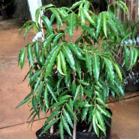 Muda da Árvore Mastro ou Choupala - Safari Garden
