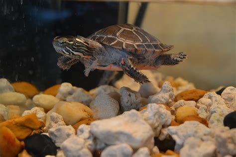 turtle excessive shell shedding excessive shedding or illness picture basking log