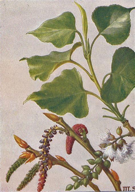 schwarz pappel populus nigra