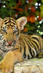 Young Tiger In The Zoo Close Up Stock Image - Image of ...