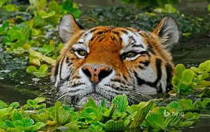 Bing Tiger Water Theme Microsoft Wallpapers Official
