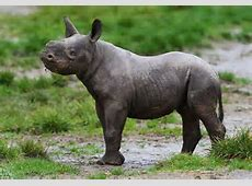 Baby black rhino is first born at Howletts Wild Animal