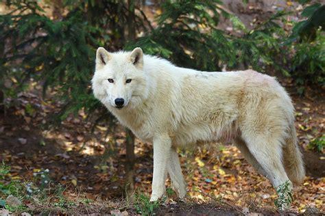 woelfe bilder woelfe picturesarktischer wolfiberischer