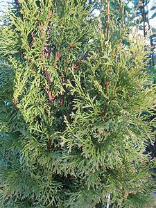 Thuja Smaragd Düngen : thuja occidentalis smaragd thuja occidentalis smaragd ~ Michelbontemps.com Haus und Dekorationen