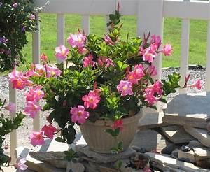 Blumenkübel Bepflanzen Vorschläge : dipladenia rio help for my brown thumb pinterest balkon ~ Whattoseeinmadrid.com Haus und Dekorationen