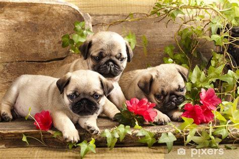 pug puppies  flowers  retro backgraun wall mural
