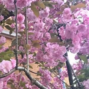 Was Ist Das Für Ein Baum : was ist das f r ein baum rosa bl ten biologie pflanzen ~ Watch28wear.com Haus und Dekorationen