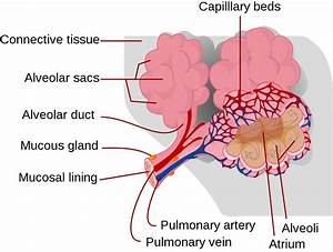 Pulmonary Alveolus