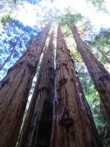 See Redwood Trees California
