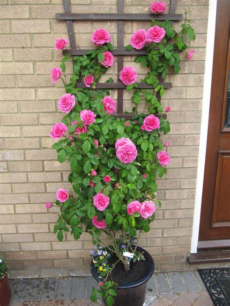 david austin delbard  shrub roses style roses