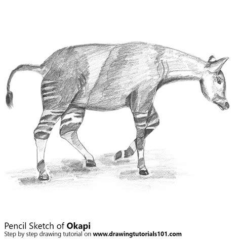 okapi pencil drawing   sketch okapi  pencils
