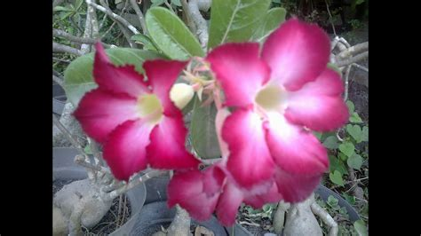 tanaman hias bunga kamboja doovi