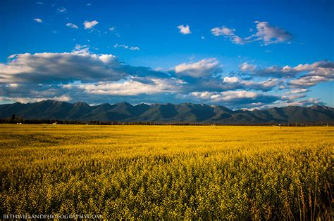 Panoramio - Photo of Canola field outside of Kalispell ...