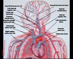 Image Result For Human Arteries And Veins Labeled Model