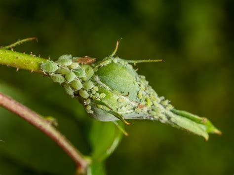 control aphids whiteflies hgtv