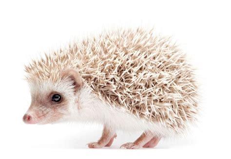 african pygmy hedgehog petshomes