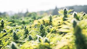purdue researchers tackle cannabis industry s pesticide