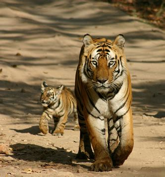 God Like Mother Tiger Her Cub Dungeon Sky