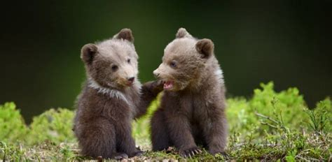 What Is A Baby Bear Called?