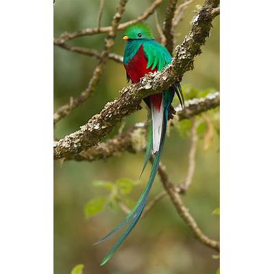342 best images about QUETZAL on PinterestForests