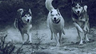 Husky Animated Dog Running Wolf Wolves Pack