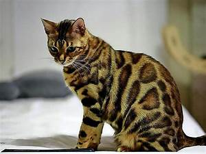 Gemüse Für Katzen : diese katzen sind f r allergiker geeignet maz ~ Watch28wear.com Haus und Dekorationen