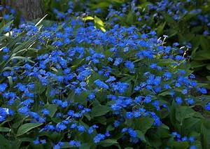 Bodendecker Blaue Blüten : omphalodes verna waldvergissmeinnicht blau bl hender bodendecker ~ Frokenaadalensverden.com Haus und Dekorationen