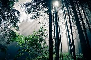 The rays of the sun in a dark pine forest wallpapers and ...