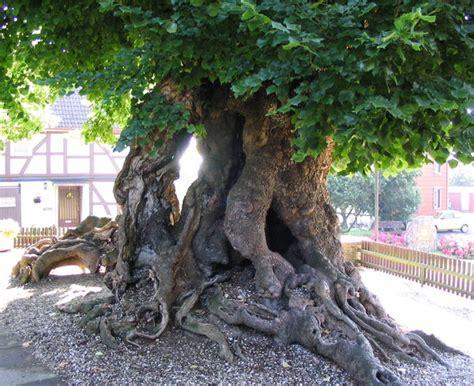 alte und uralte baeume eindrucksvolle naturdenkmale