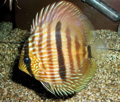 17 meilleures id 233 es 224 propos de poissons discus sur disque poisson tropical et