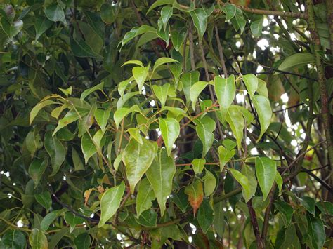 foliage of trees chor tree friends of the urban forest