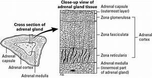 Basic Anatomy Of An Adrenal Gland