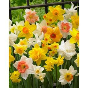 bloomsz premium daffodil mix bulbs 50 pack 05790 the