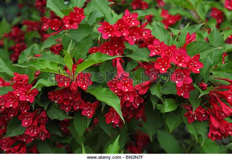 weigela shrubs weigela stock photos weigela stock images alamy