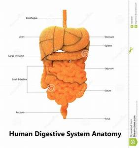 Picture Of Human Digestive System Without Labels