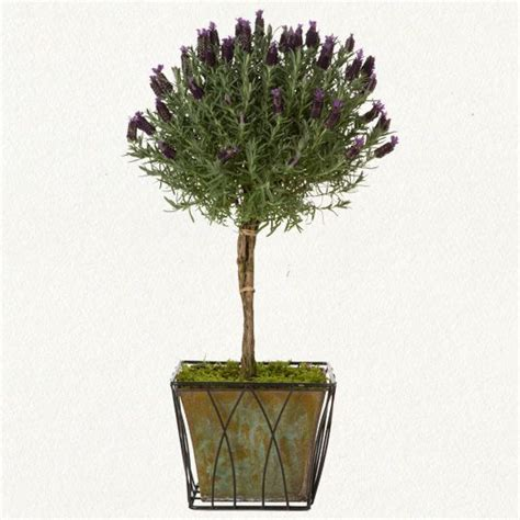 lavender topiary        planted