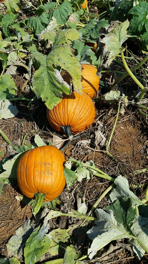 Westfield Main Place Pumpkin Patch by 100 Great Pumpkin Patch Frederick Md Summers Farm