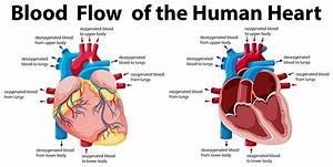 3a1 Heart  U2013 Humanbio