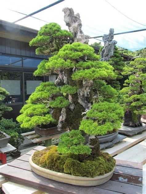 Bonsai Baum Pflanzen by Bonsai Gro 223 Artig Bonsai Gro 223 Und Hohe Schnittkunst Kleiner