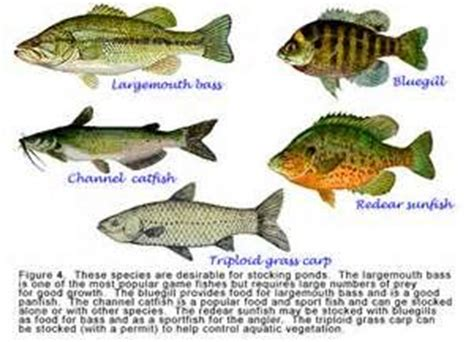 images  types  fish  stock  florida ponds