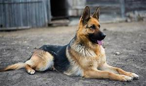 german shepherd breed standards size characteristics With dog crate size for german shepherd