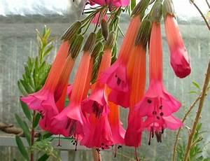 Flor sagrada de los incas