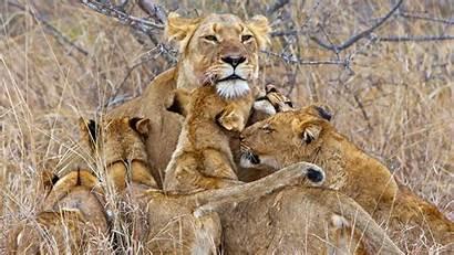 Lion 4k Fabulous Wallpapers Animals