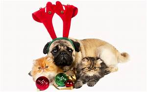 Holiday Christmas Kitten Pug Dog Wallpaper