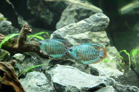 dwarf gourami care size lifespan tankmates breeding