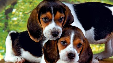 beagle wallpapers pictures images