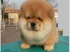 Pictures and Infos of Chow Chow Dog FallinPets