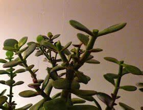 Bouture Plante Verte : les crassulas sont une vari t de plantes succulentes appel es aussi plantes grasses les plus ~ Melissatoandfro.com Idées de Décoration