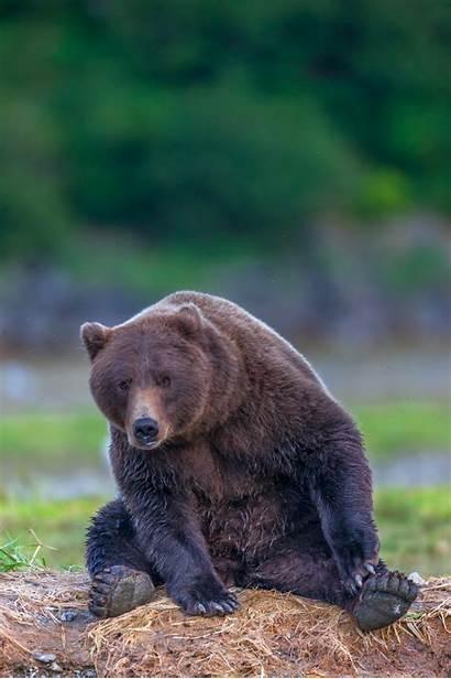 Bear Grizzly Fishing Foot Bears Katmai Wildlife